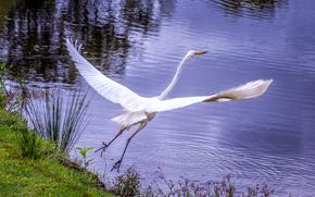 Животные: белая цапля, взлёт, на взлёте