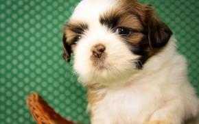 Животные: Ши-тцу, собака, щенок, малыш