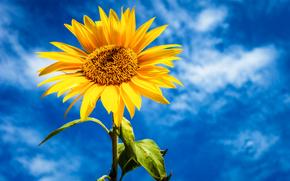 Цветы: небо, подсолнух, цветок
