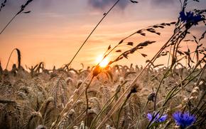 Макро: закат, поле, колосья, цветы, макро
