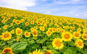 Цветы: поле, подсолнухи, небо, пейзаж, цветы