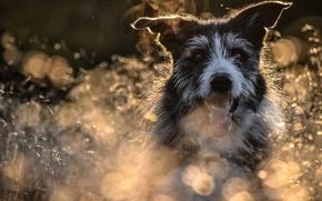 Животные: собака, морда, язык, боке