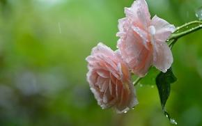Цветы: розы, дождь, капли, макро
