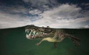 Животные: взгляд, гребнистый крокодил, Crocodylus porosus, saltwater crocodile, Jardines de la Reina, Cuba
