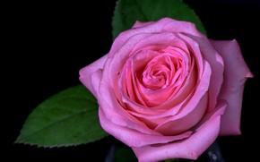 Цветы: роза, цветок, флора
