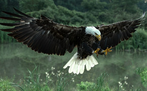 Животные: Белоголовый орлан, ястреб, птица, хищник, крылья