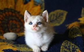 Животные: котёнок, малыш, голубые глаза