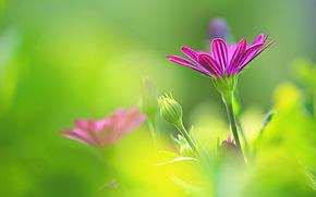 Цветы: Остеоспермум, ромашка, боке
