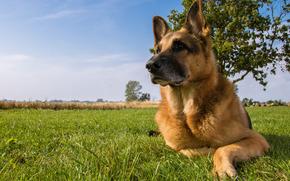 Животные: Немецкая овчарка, овчарка, собака, луг
