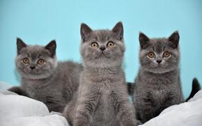 Животные: Британская короткошёрстная кошка, Британцы, котята, трио, троица
