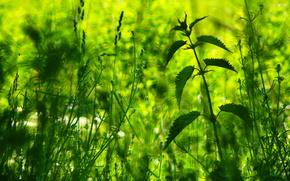 Макро: растения, крапива, макро