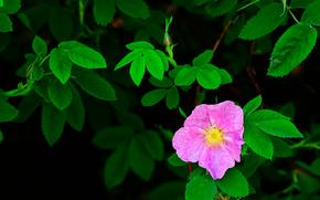 Цветы: шиповник, цветок, листья, флора