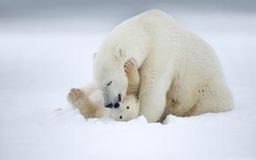 Обои Животные: Alaska, Аляска, белый медведь, полярный медведь, медведи, медведица, медвежонок, детёныш, материнство, любовь, снег, зима
