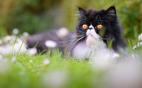 Животные: Персидская кошка, перс, кот