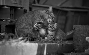 Животные: кошка с котятами, кошка, котята, малыши, материнство, мойдодыр, монохром, чёрно-белая