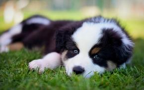 Животные: Австралийская овчарка, Аусси, собака, щенок, мордочка, взгляд, трава