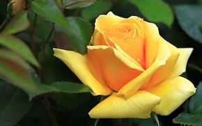 Цветы: роза, цветок, макро, флора