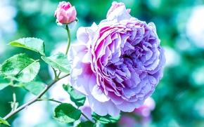 Цветы: роза, ветка, макро