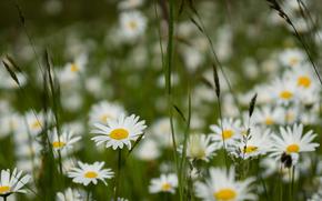 Макро: поле, трава, ромашки, цветы, макро