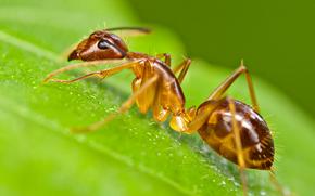 Макро: муровей, насекомое, макро