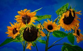 Цветы: полсолнухи, цветы, флора