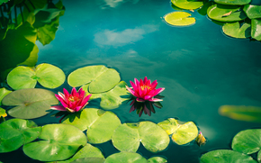 �����: Water Lily, ������� �����, ������, �����