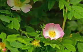 Цветы: шиповник, цветы, листья, ветки