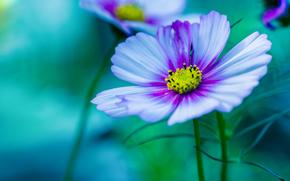 Макро: пурпурный, цветок Космос, макро