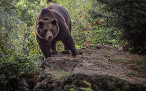 Животные: лес, медведь, взгляд