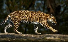 Животные: ягуар, дикая кошка, хищник, бревно