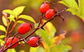 Макро: ветка, шиповник, листья, плоды, макро