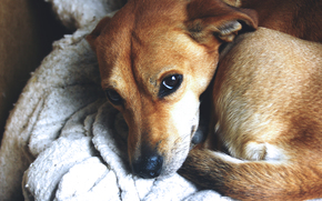 Животные: Собака, пес, рыжий
