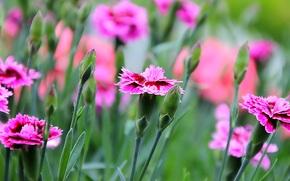 Макро: гвоздики, цветы, макро