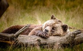 Животные: медведь, топтыгин, отдых, бревно