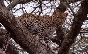Животные: леопард, дикая кошка, хищник