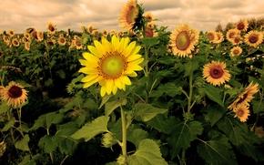 Цветы: закат, поле, подсолнухи