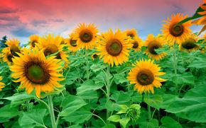 Цветы: Сумерки, поле, цветы, листья, подсолнухи, небо, облака