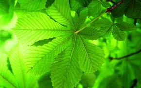 Макро: ветка, листья, каштан, макро