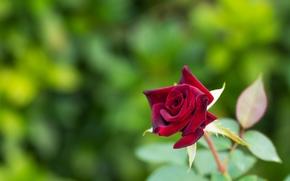 Цветы: роза, бутон, макро