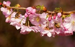 Макро: вишня, ветка, цветение, цветки, пчёлы, насекомые, макро, весна