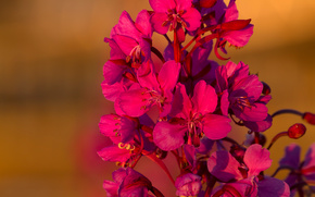 Цветы: Иван-чай, цветки, макро