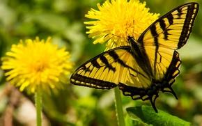 Макро: Парусник главк, бабочка, одуванчики, цветы, макро
