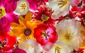 Цветы: тюльпаны, георгины, лепестки