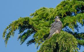 Животные: сапсан, сокол, птица, хищник, дерево, ветки
