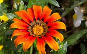 Цветы: Gazania, цветок, флора