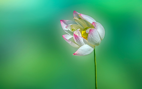 Макро: Lotus, flower, ЛОТУС, ЦВЕТОК, МАКРО