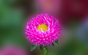 �����: Aster Flower, �����, �����