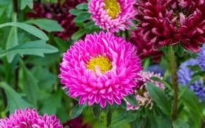 Цветы: Aster Flower, астры, цветы, флора