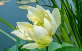 Цветы: Lotus, flower, лотус, цветок, флора