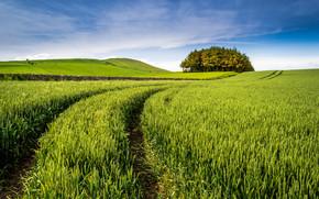 Пейзажи: поле, колосья, деревья, пейзаж